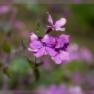 judaspenning (Lunaria annua)