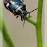 koolwants (Eyrydema oleracea)