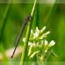 variabele waterjuffer (Coenagrion pulchellum)