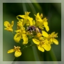 zandbij, vrijwel zeker roodgatje Andrena haemorrhoa