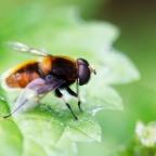Hommelbijvlieg (Eristalis intricaria)