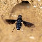Muurrouwzwever (Anthrax anthrax)