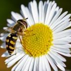 5 Kommazweefvlieg, denk terrasjeskommazweefvlieg (Eupeodes corollae)