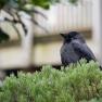 kauw (Corvus monedula