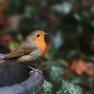 roodborst ((Erithacus rubecula)